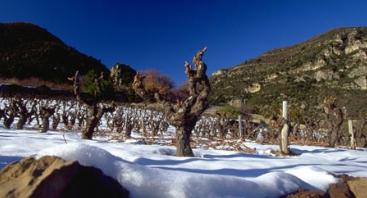vignes dans la neige